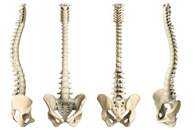 skeleton of the spine